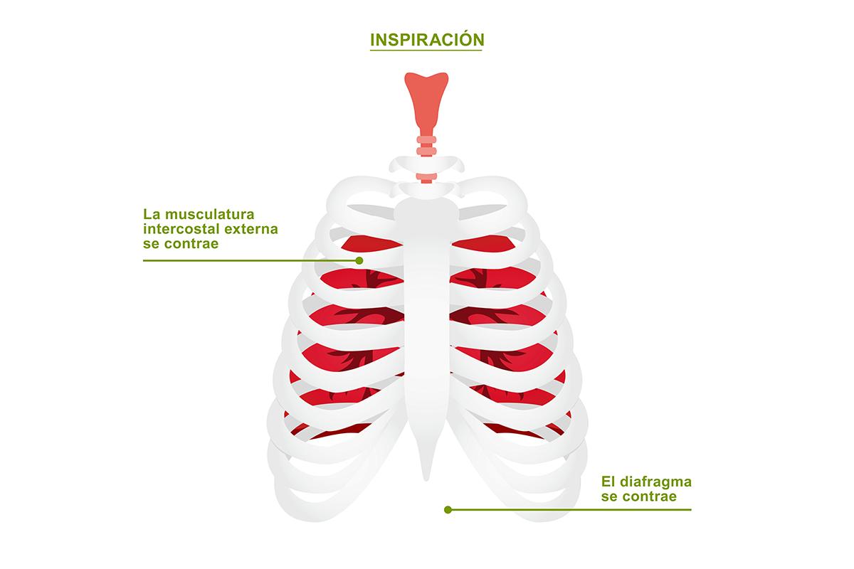 Mejorar nuestra respiración ¿Cómo entra el aire?