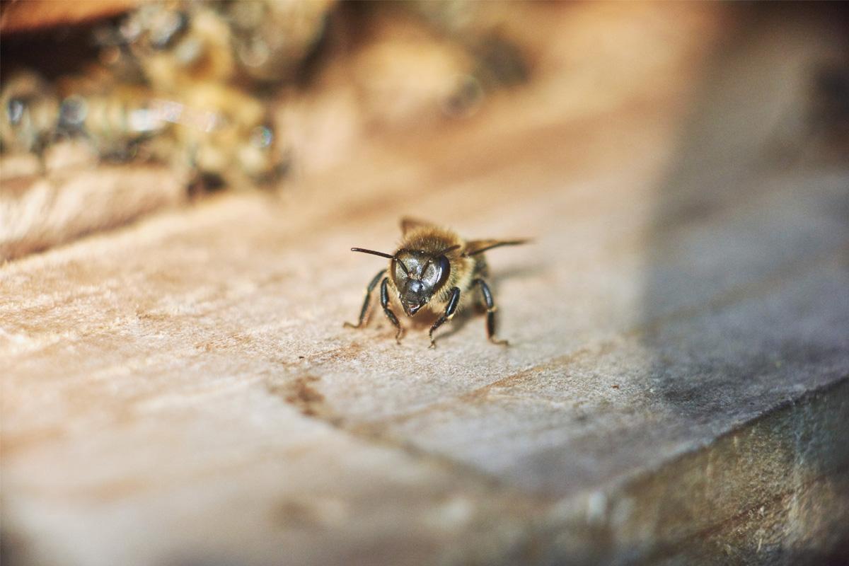 Foto de una abeja como insecto de riesgo para el ciclismo